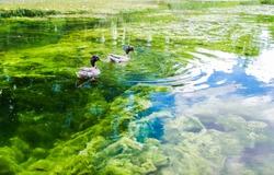 Floating Ducks in Hermann Park, Houston, Texas, USA