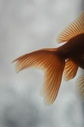 Floating fish tail in aquarium.