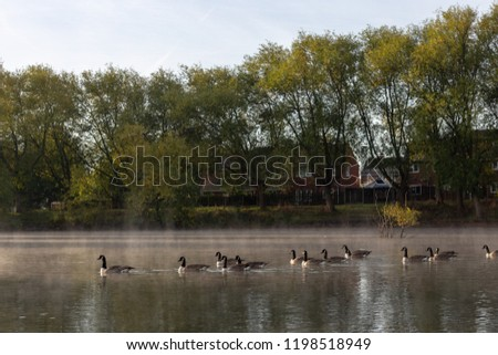 Stock Photo Floating geese on the pond.