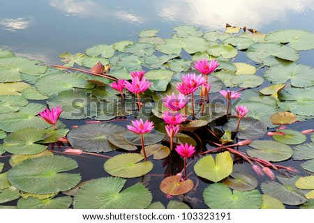 floating of colorful lotus flower