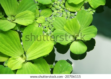Floating plants in a pond