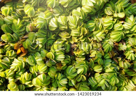 Floating plants in the pond, top view.Water lettce / aquatic weed/ aquatic plant for decoration #1423019234