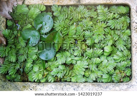 Floating plants in the pond, top view.Water lettce / aquatic weed/ aquatic plant for decoration #1423019237