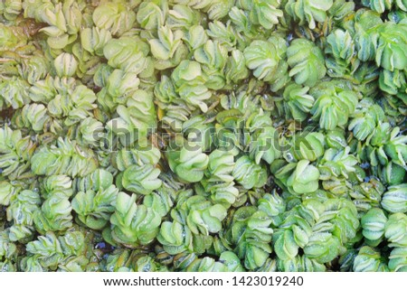 Floating plants in the pond, top view.Water lettce / aquatic weed/ aquatic plant for decoration #1423019240