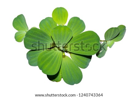 Floating plants isolated on white background, Water lettuce, Aquatic weed, Aquatic plant for decoration #1240743364