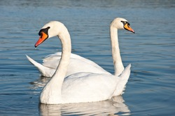 floating swans