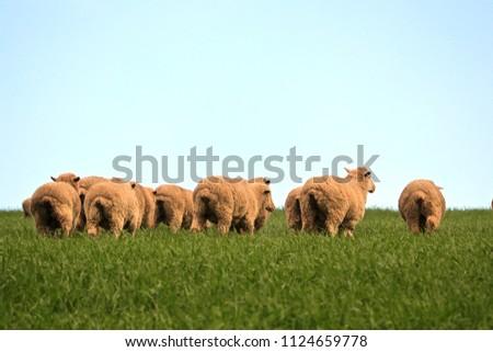 Flock Australian Sheep grazing in meadow pasture