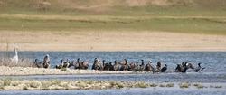 Flock cormorants, gray heron and dalmatian pelican on river background