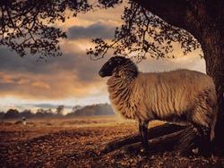 flock drenthe heath sheep grazing national park Dwingelerveld Ruinen netherlands