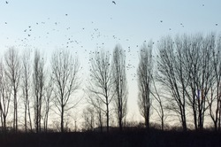 flock herd of birds ducks and cormorant in flight formation migrating in pond swamp european environment with tall trees