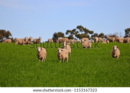 Flock herd of South Australian Sheep grazing and roaming green grassy meadow, South Australia
