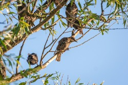 flock of adult and chiks starlings resting on the tree in wilderness