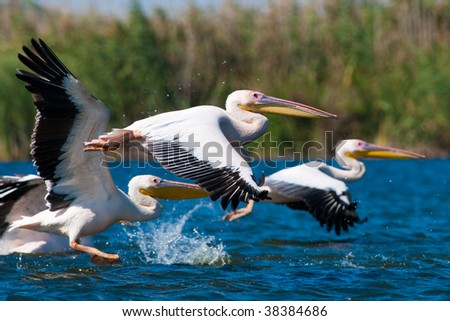 Flock of American Great White Pelican (Pelecanus Onocrotalus) in flight