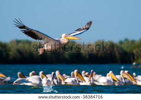 Flock of American Great White Pelican (Pelecanus Onocrotalus) on water and in flight