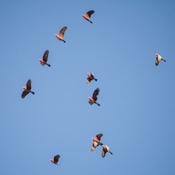 Flock of Australian Galahs (Eolophus roseicapilla) flying to roost in the late afternoon sun