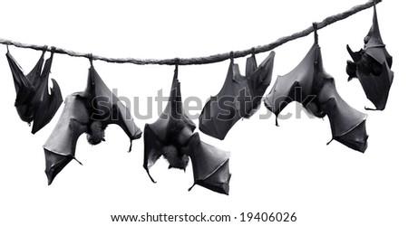 Flock of bats hanging on vines