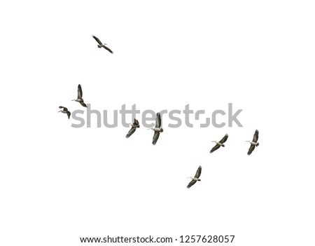 Flock of Bird flying isolated over white background Spot-billed pelican or grey pelican (Pelecanus philippensis)