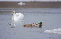 Flock of birds, among which swans, mallard ducks and seagull swimming on the river, in winter. Selective focus