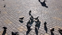 Flock of birds at city street with stone tiled pavement. Dark grey pigeons feeding outdoor in bright sunlight with dark shadows. Blurry shadow of person walking by city square