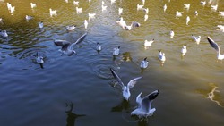 Flock of birds at lake freshwater in sunny day. White seagulls swimming and flying while feeding at wavy green water of pond. Birds peck food from rippled water. Intentional motion blur