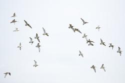 Flock of birds, curlew in flight