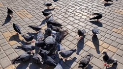 Flock of birds feed and peck food at city street pavement. Grey pigeons crowding and pushing each other with wings while feeding outdoor in bright sunlight with shadows. Pigeons fighting and flying