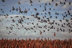 Flock of birds, flock of birds flying over a field