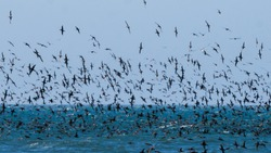 Flock of birds flying and diving into the blue ocean feasting on fish ball.