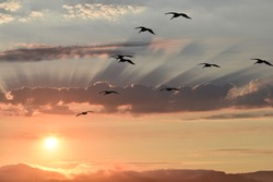 Flock of birds flying in the blue-grey-orange sky, silhouette birds, sun shining through clouds, evening sky, morning sky