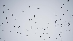 flock of birds flying in the sky crows. chaos of death concept. group of birds flying in the sky. black crows in a group circling against the sky. migration movement fly of birds from warm countries