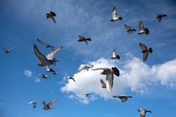 Flock of birds flying in the sky. Flock of pigeons in the blue sky