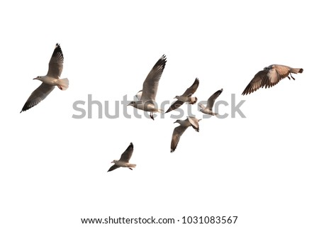 Flock of birds flying isolated on white background. This has clipping path. #1031083567