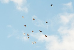 flock of birds in the blue sky with white clouds