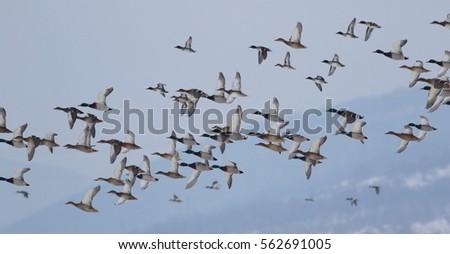 Flock of birds, Mallard Ducks in flight, Anas Platyrhynchos