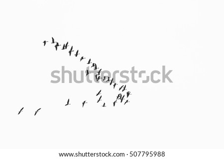 flock of birds migrate to warmer climes / black and white photo in retro style