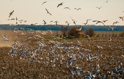 Flock of birds or gulls flying eating crops in a farm or field. Pest & bird control in agriculture and horticulture. Farm land & seeds can be damaged by flying & nesting migratory birds. Protect crop.