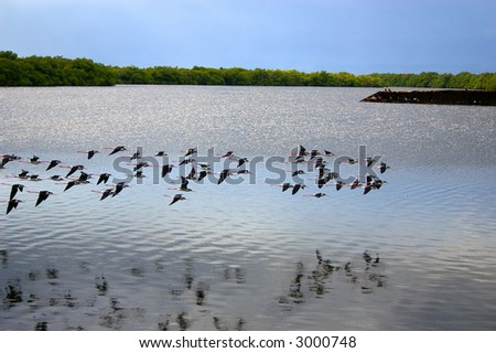 flock of birds over swamp
