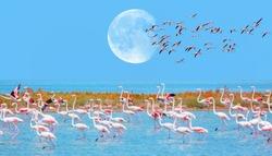 Flock of birds pink flamingo runing on the blue salt lake of Izmir bird paradise - Izmir, Turkey - Greater Flamingos in the blue sky with full moon