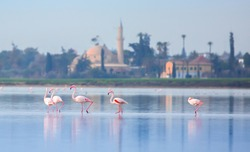 flock of birds pink flamingo walking on the blue salt lake of Cyprus in the city of Larnaca, the concept of romance delicate background of love The Hala Sultan Tekke Mosque