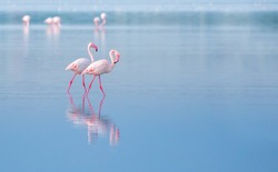 flock of birds pink flamingo walking on the blue salt lake of Cyprus in the city of Larnaca, the concept of romance delicate background of love with space for text