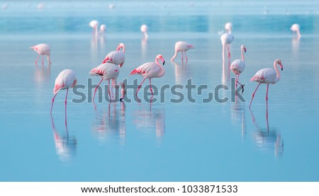 Stock Photo flock of birds pink flamingo walking on the blue salt lake of Cyprus in the city of Larnaca, the concept of romance delicate background of love