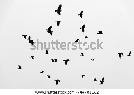 Flock of birds ravens flying in the sky. Black and white photo.