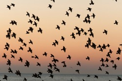 Flock of Birds silhouette in the sky at sunset