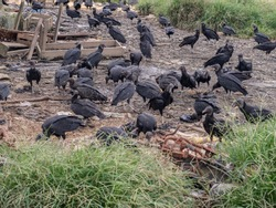 Flock of black vulture, on the bank of  the Amazon  river, jungle. Brazil. Latin America. Also known as the American black vulture, is a bird in the New World vulture family, Coragyps atratus