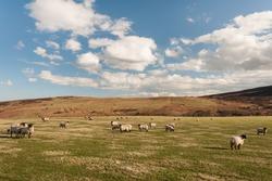 flock of blackface sheep grazing