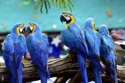 Flock of Blue and gold macaw birds together perching on log in the zoo, beautiful parrots