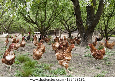 Flock of brown free range chicken in an orchard on a farm.