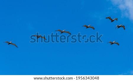 Flock of brown pelicans (Pelecanus occidentalis) flying against blue sky - Dania Beach, Florida, USA Zdjęcia stock ©