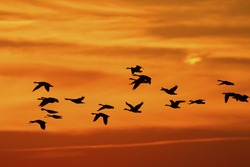 Flock of Canada Geese (Branta canadensis) migrating against a sunset - Ontario, Canada