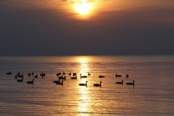 Flock of Canada Geese (Branta canadensis) on Lake Huron at Sunset - Ontario, Canada